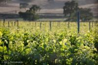 Los Olivos, grape, vines, vineyards, green, Central Coast, Tom Jewett