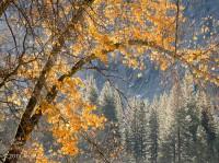 Yosemite, Fall, leaves, orange, pines, El Capitan meadow, Tom Jewett