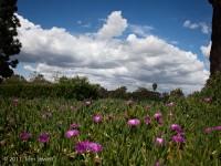 Long beach, clouds, sky, purple, flowers, iceplant, trees, Tom Jewett