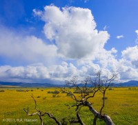 San Diego County, yellow field, clouds, blue sky, branches, hills, stock
