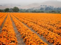 Buellton, Lompoc, orange, marigolds, foggy, Spring, Tom Jewett