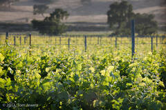 Landscape 11, Grape vines
