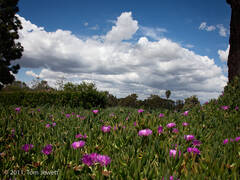 Landscape 26, Iceplant and clouds