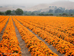 Landscape 8, Orange field