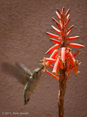 Still Life 13, Hummingbird and Aloe