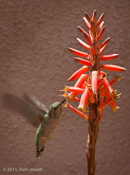 orange, flower, hummingbird, aloe, Tom Jewett, photo