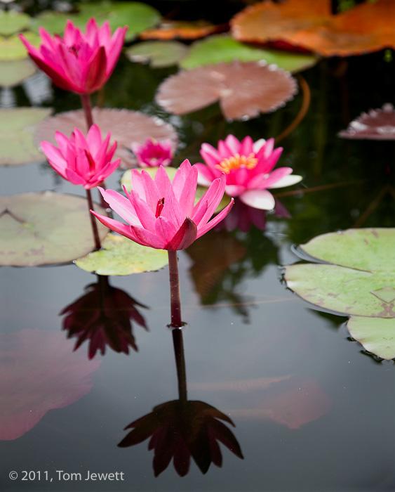 San Juan Capistrano, San Juan, mission, fountain, pond, pink, water lily, water lilies, lily, Tom Jewett, photo