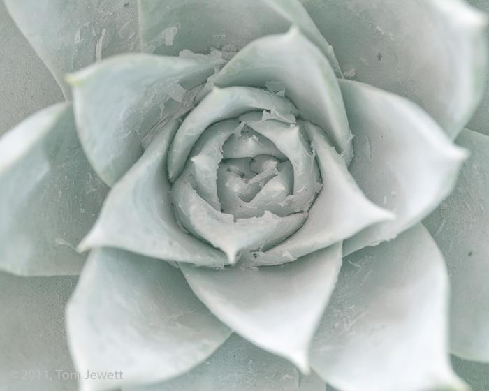 Dudleya, succulent, Tom Jewett, photo