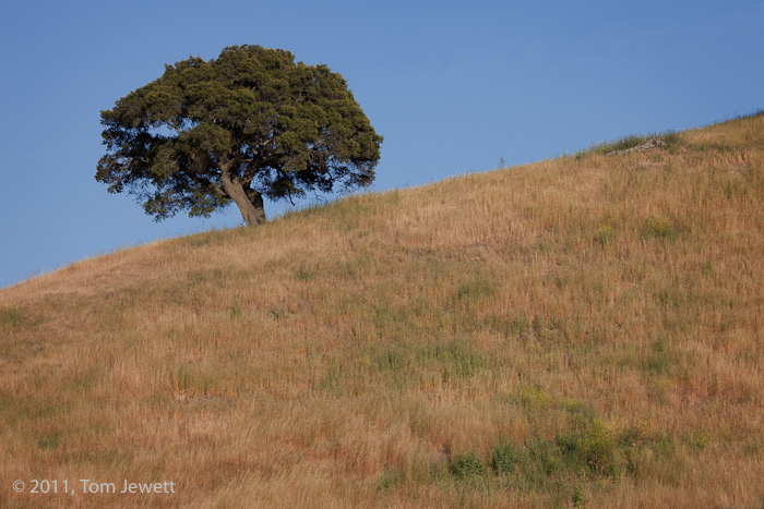 This tree somehow manages to grow vertically on its sloping hillside. The brown grass beneath it typifies much of the year in...