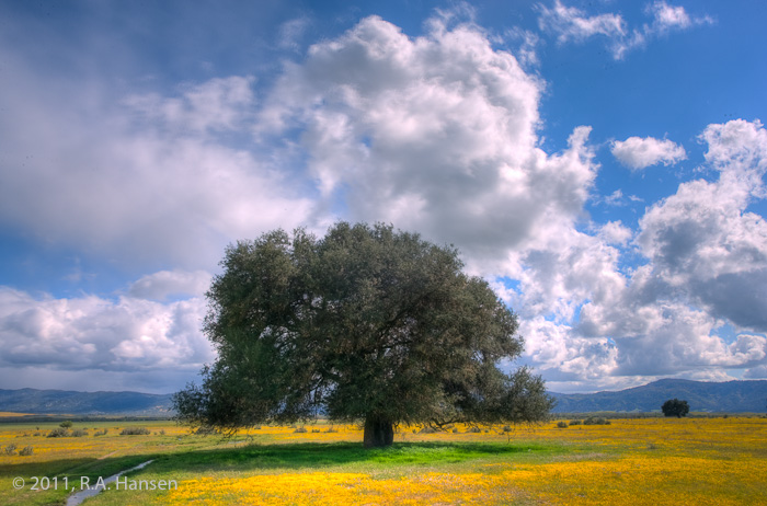 San Diego County, lone oak, yellow field, blue sky, clouds, hills, photo