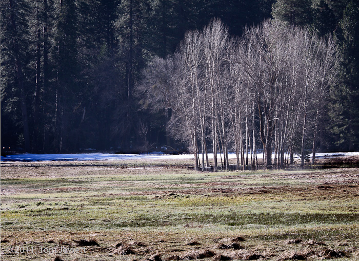 A stand of bare cottonwood trees contrasts with the darker pines in the background in this winter view of Ahwahnee Meadow. Photo...