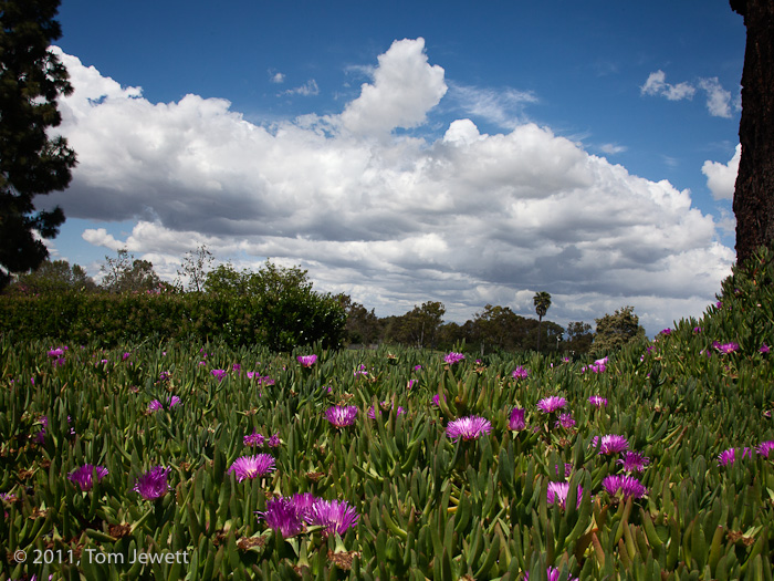 Purple flowers and trees frame a dramatic sky in this view from the entrance to the campus of California State University, Long...
