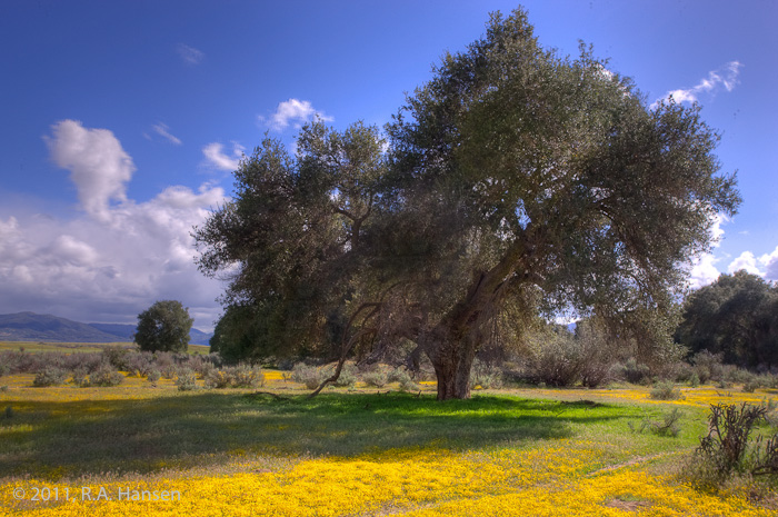 A group of oaks aregrounded with a yellow field, with a spectacular blue sky and clouds above and rolling hills in the...