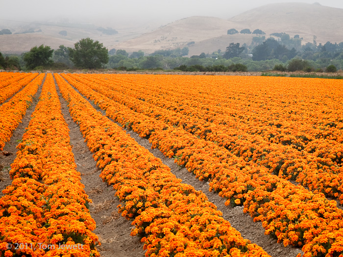 Acres of brilliant orange marigolds stand in contrast to the foggy hills in the background in a typical Lompoc Valley Spring...