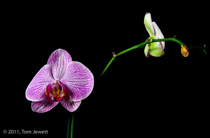 purple, cymbidium, orchid, Tom Jewett, photo