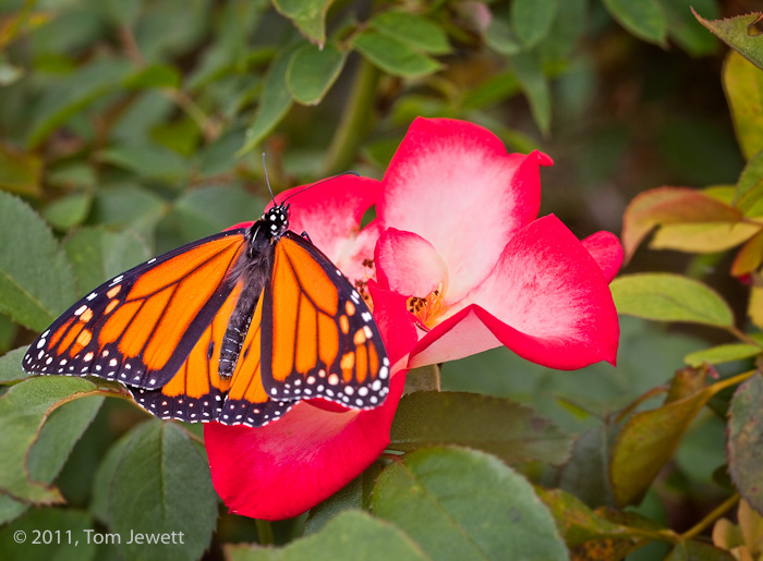 A bright orange butterfly alights on a blooming rose in this Mission garden scene. Photo by Tom Jewett