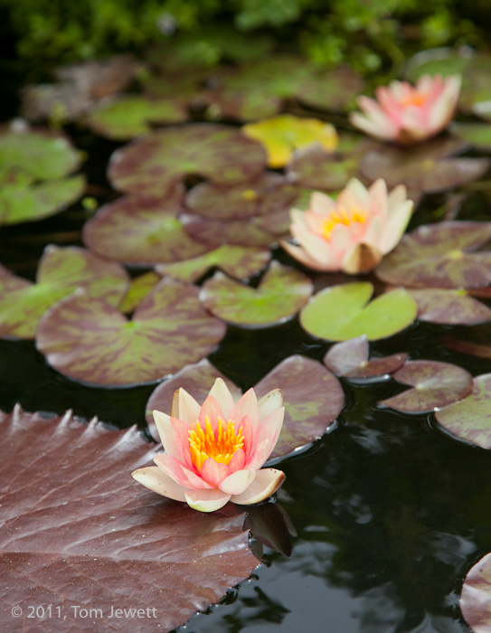 A pink water lily in the foreground of the fountain pond of Mission San Juan Capistrano. Photo by Tom Jewett