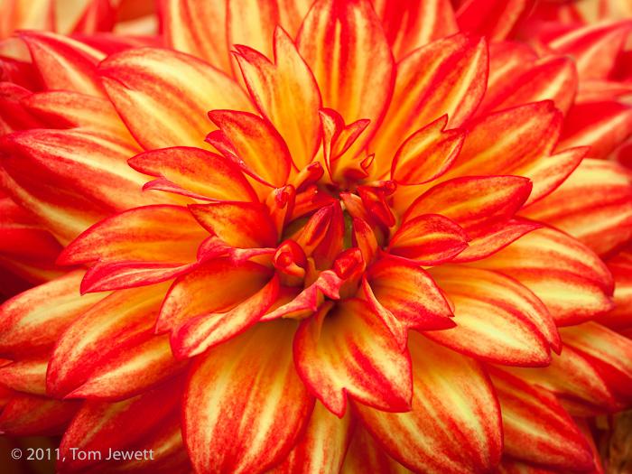 Dahlia, close-up view of the brilliant orange flower. Photo by Tom Jewett