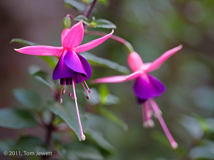 Fuchsia, pink, purple, flower, Tom Jewett, photo